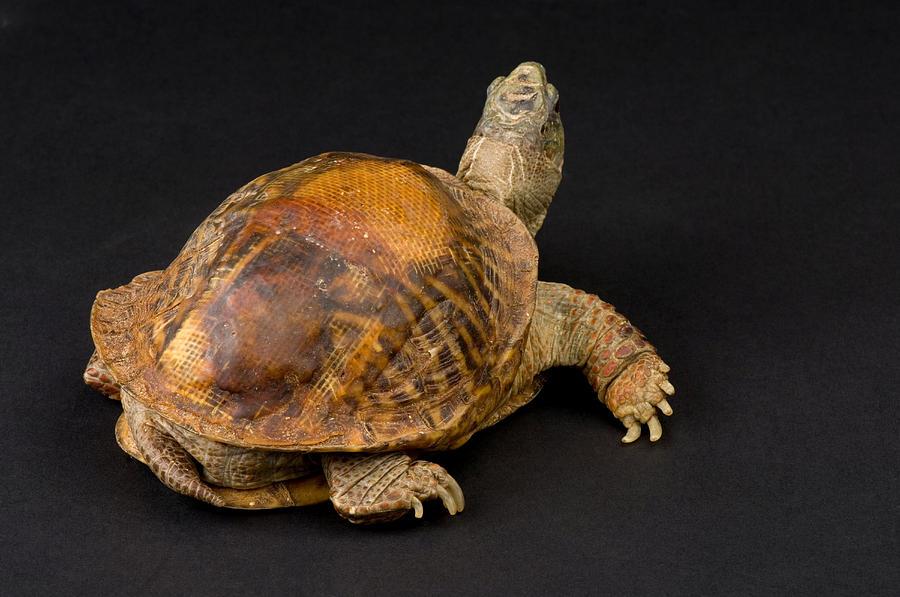An Ornate Box Turtle With A Fiberglass Photograph