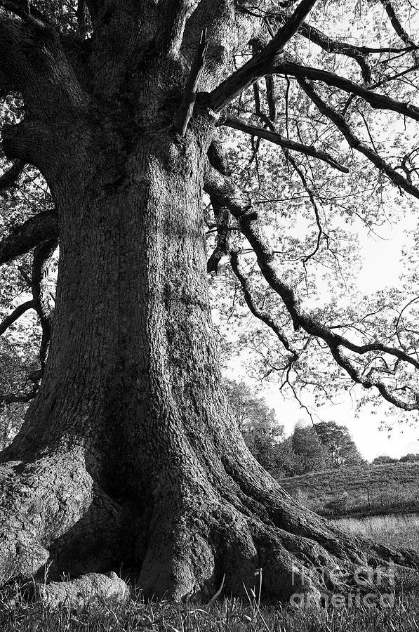 White Oak Tree Photograph - Ancient Oak by Thomas R Fletcher