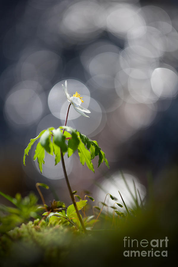 Light Photograph - Anemone  by Rikard Strand
