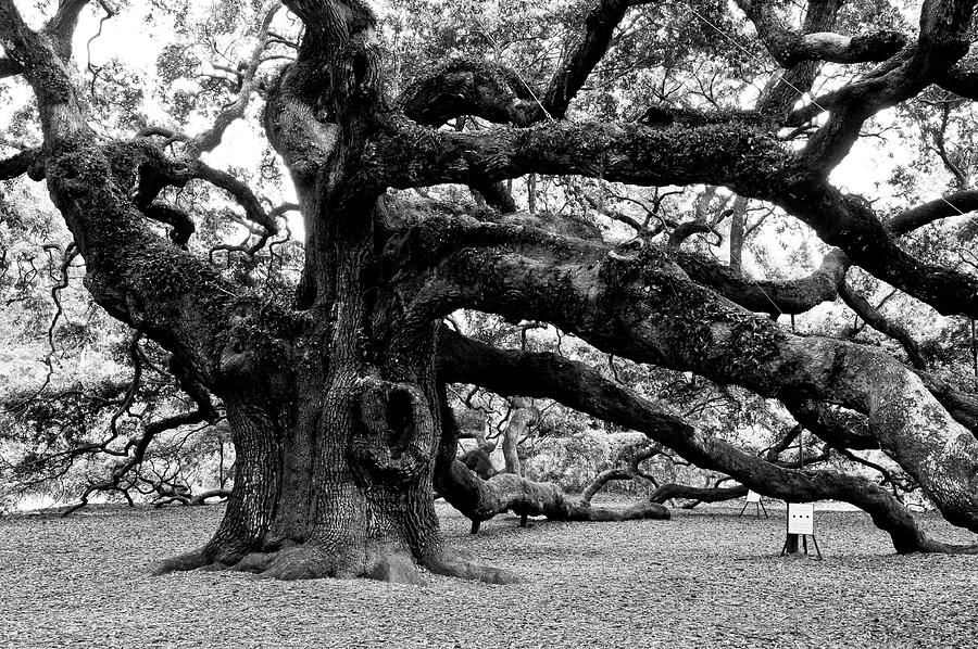 Nature Photograph - Angel Oak Tree 2009 Black And White by Louis Dallara