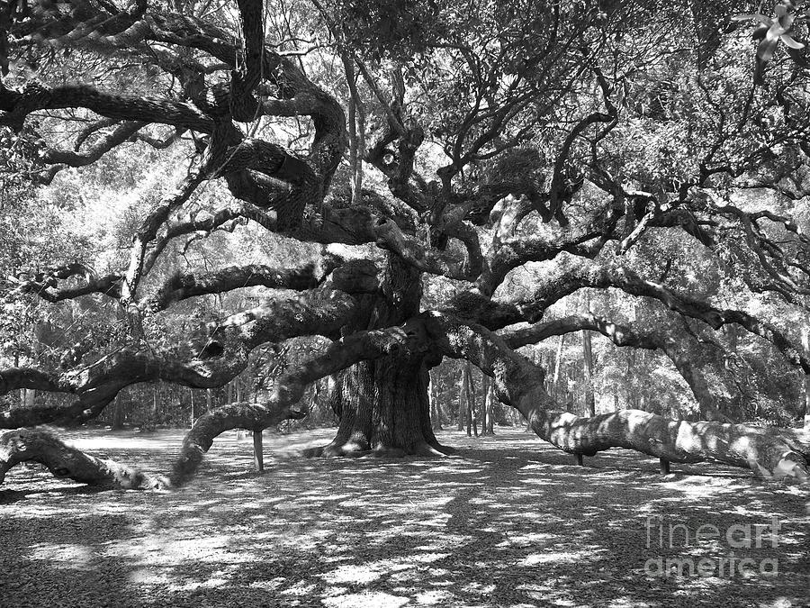 Angel Oak Tree Black And White Photograph