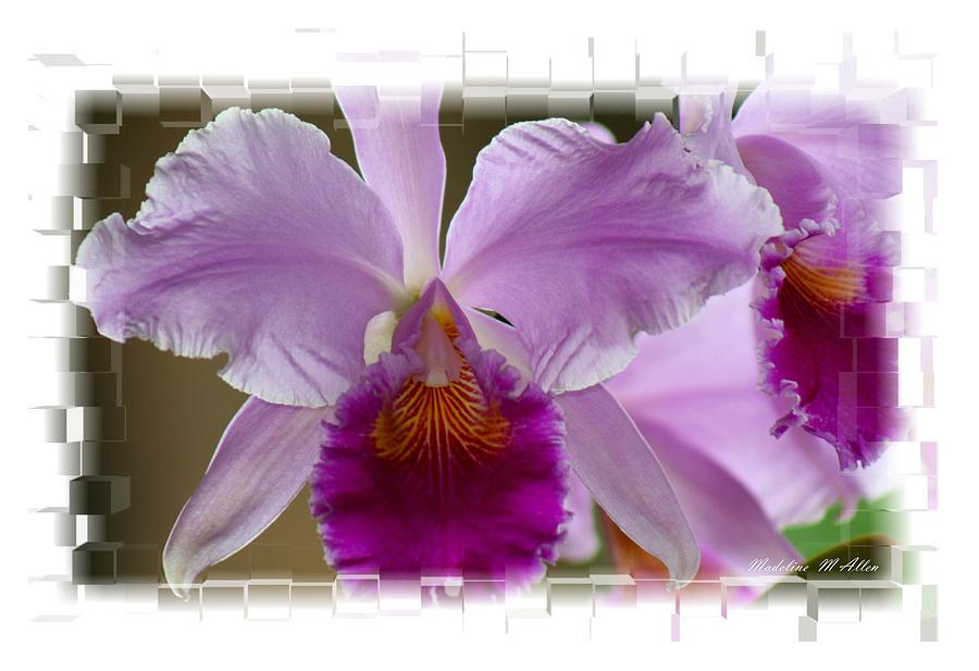 Smudgeart Photograph - Angel Wings Orchid by Madeline  Allen - SmudgeArt
