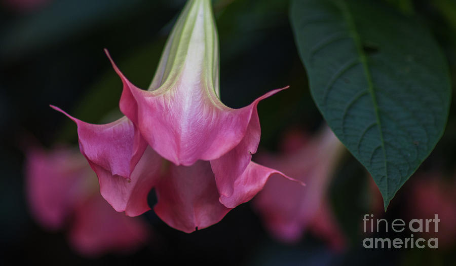 Angels Trumpet Photograph