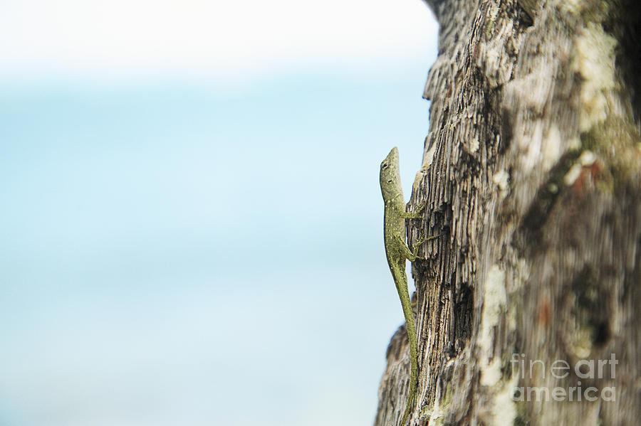 Anole Lizard Photograph
