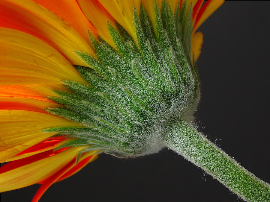 Gerbera Photograph - Another View by Juergen Roth
