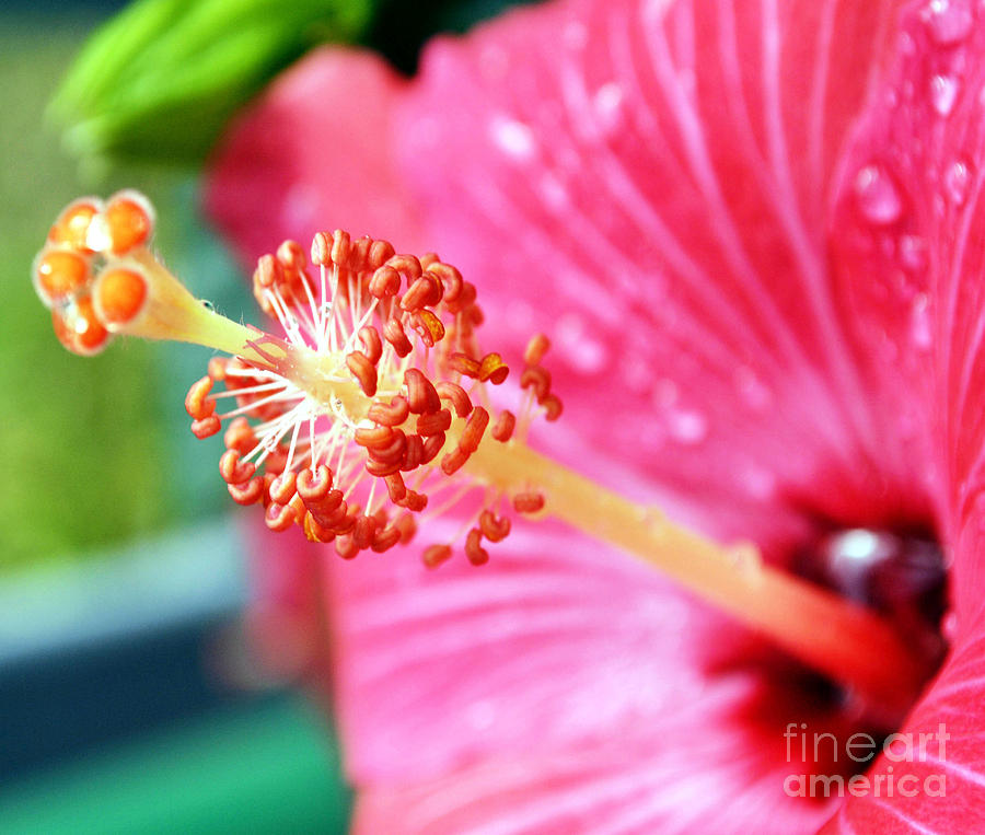Hibiscus Photograph - Anthers And Flaments On Hibiscus by Eva Thomas