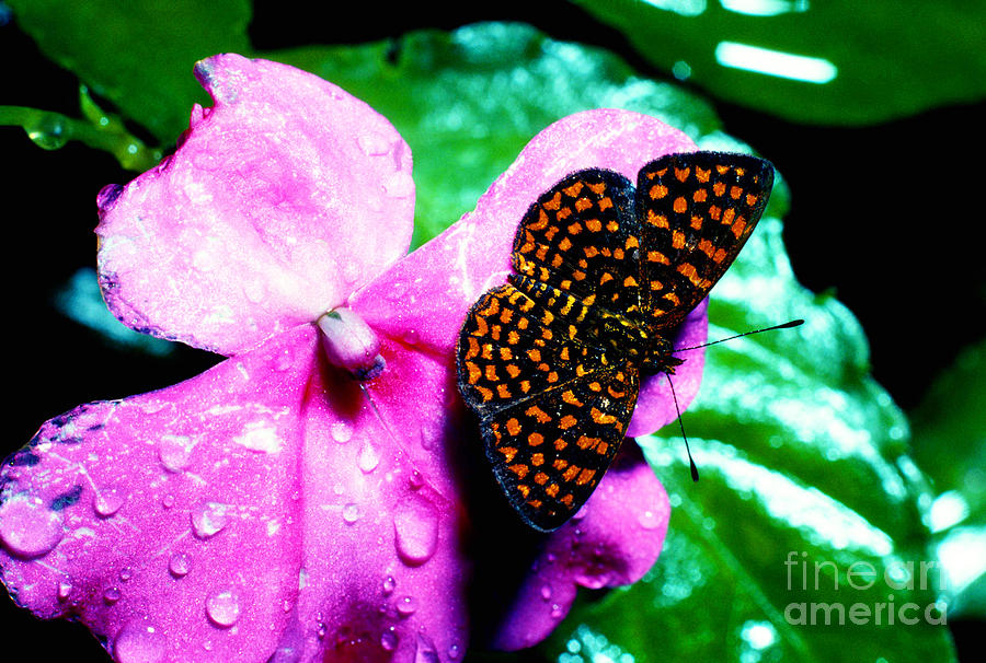 Antillean Crescent Photograph - Antillean Crescent Butterfly On Impatiens by Thomas R Fletcher