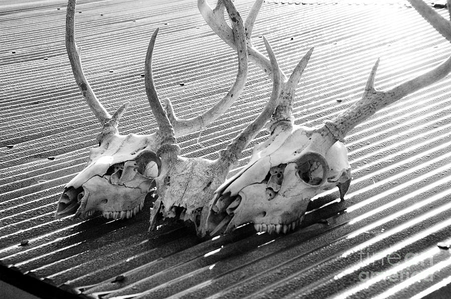Black & White Photograph - Antlers On Tin Roof by Thomas R Fletcher
