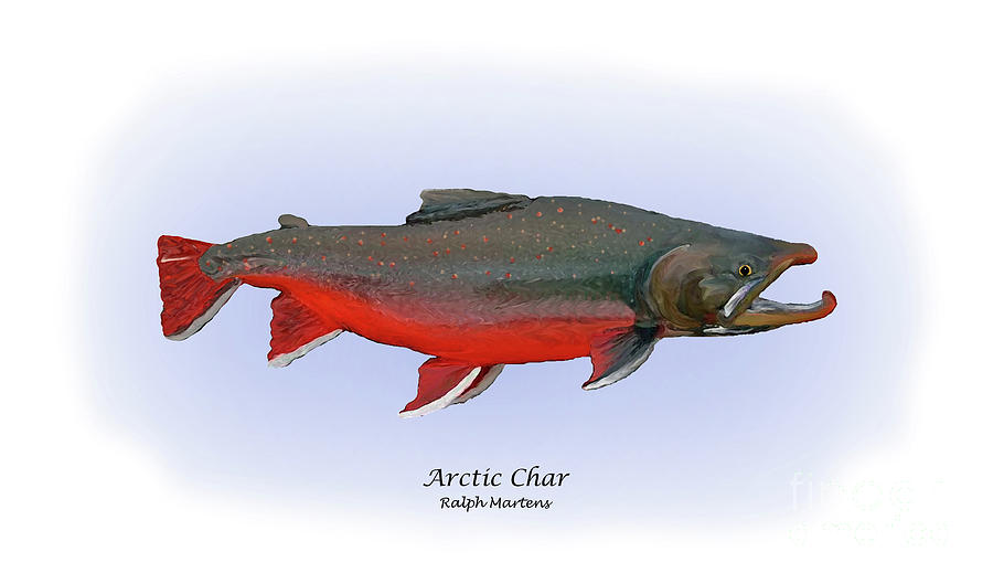 Arctic Char Painting - Arctic Charr by Ralph Martens