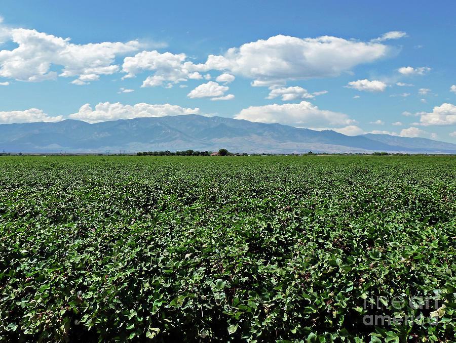 Arizona Cotton Field Photograph - Arizona Cotton Field by Methune Hively