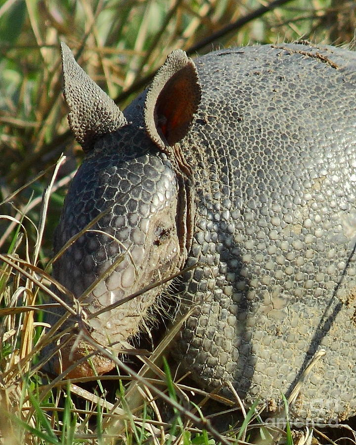 Animal Photograph - Armadillo By Morning by Robert Frederick