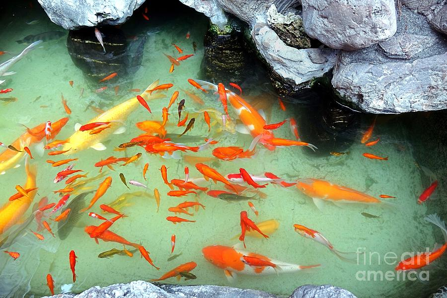 Artificial pond with colorful goldfish photograph by yali shi for Artificial fish pond
