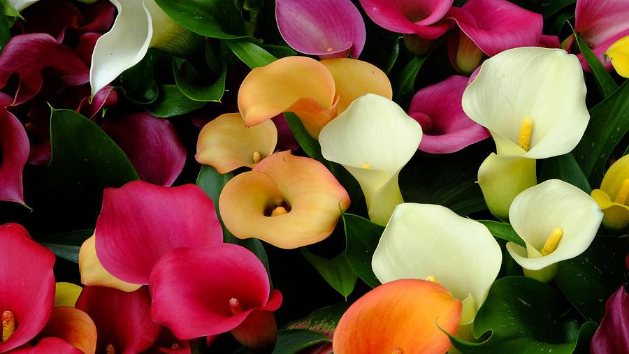 Arum Lilies Photograph