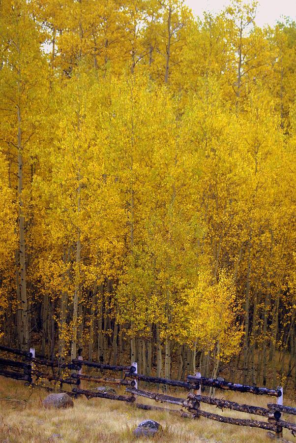 Fall Colors Photograph - Aspen Fall 2 by Marty Koch