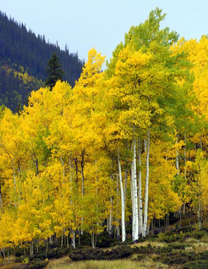 Fall Colors Photograph - Aspen Fall by Marty Koch