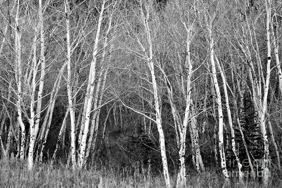Aspen Forest Black And White Print Photograph By James BO