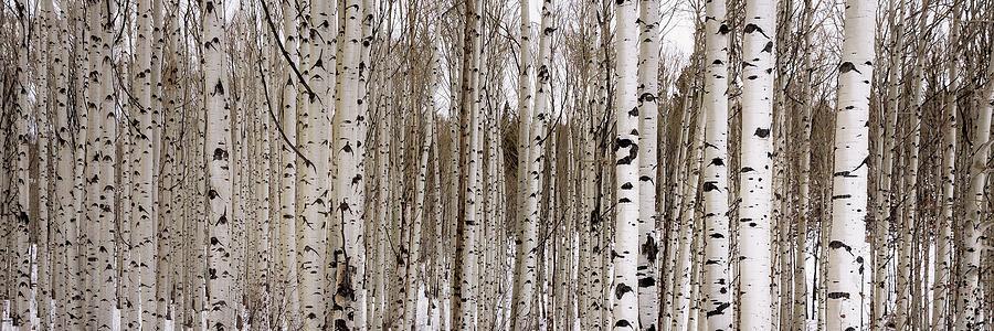 Aspen Photograph - Aspens In Winter Panorama - Colorado by Brian Harig