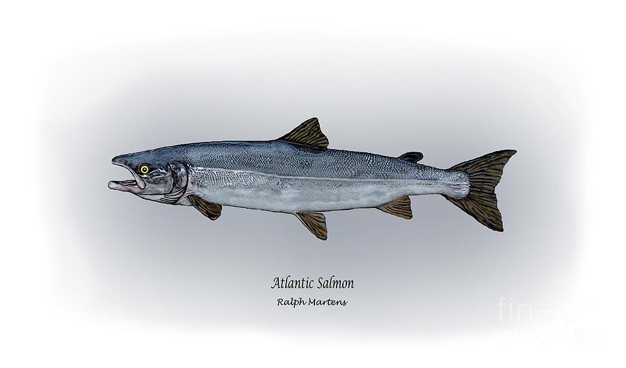 Atlantic Salmon Drawing