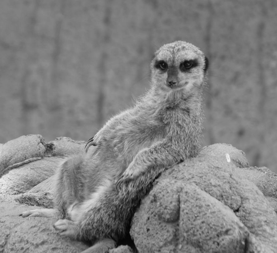 Meerkat Photograph - Attitude by Susie DeZarn