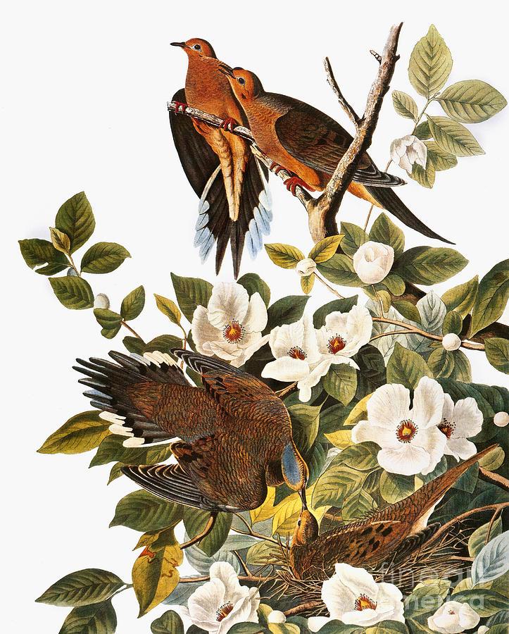1838 Photograph - Audubon: Dove by Granger