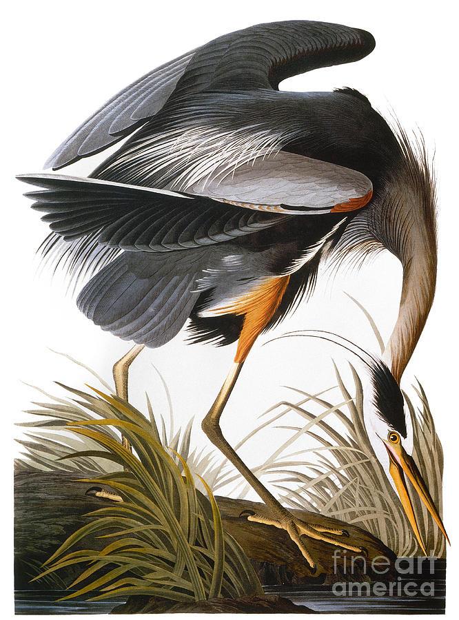 1838 Photograph - Audubon: Heron by Granger