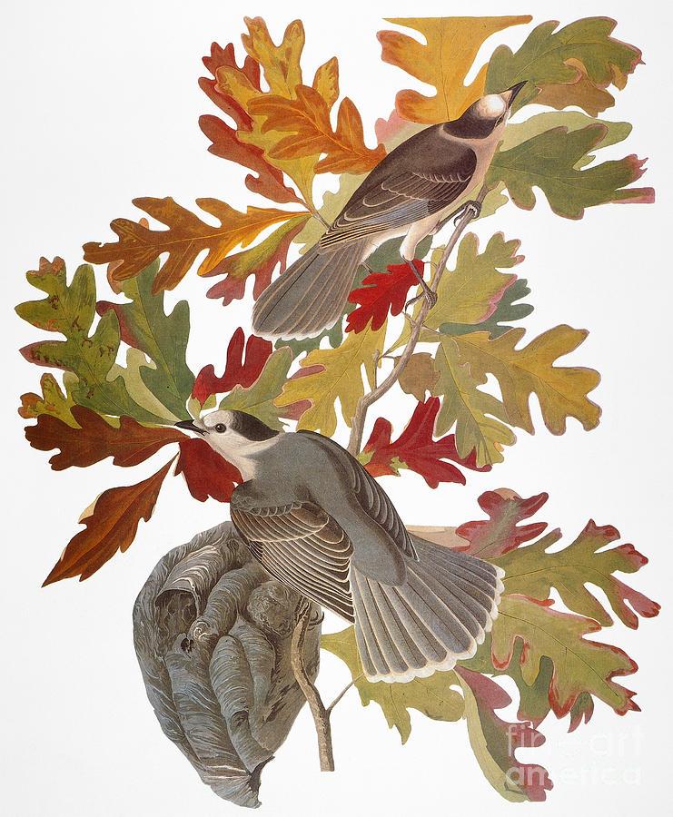 1838 Photograph - Audubon: Jay by Granger