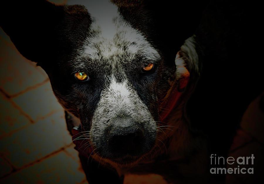 Australian Cattle Dog Photograph