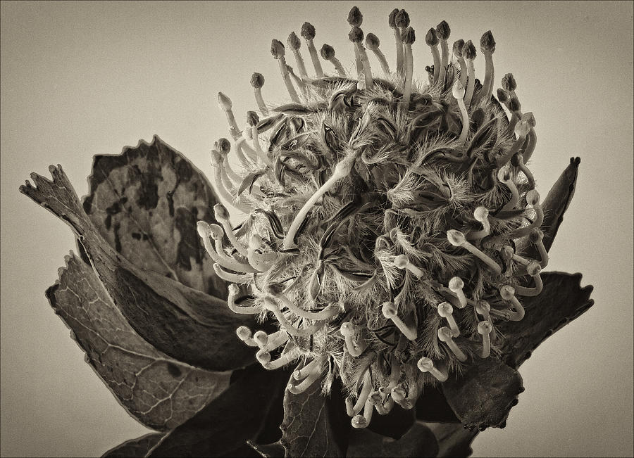 Flower Photograph - Australian Pincushion 2 by Robert Ullmann