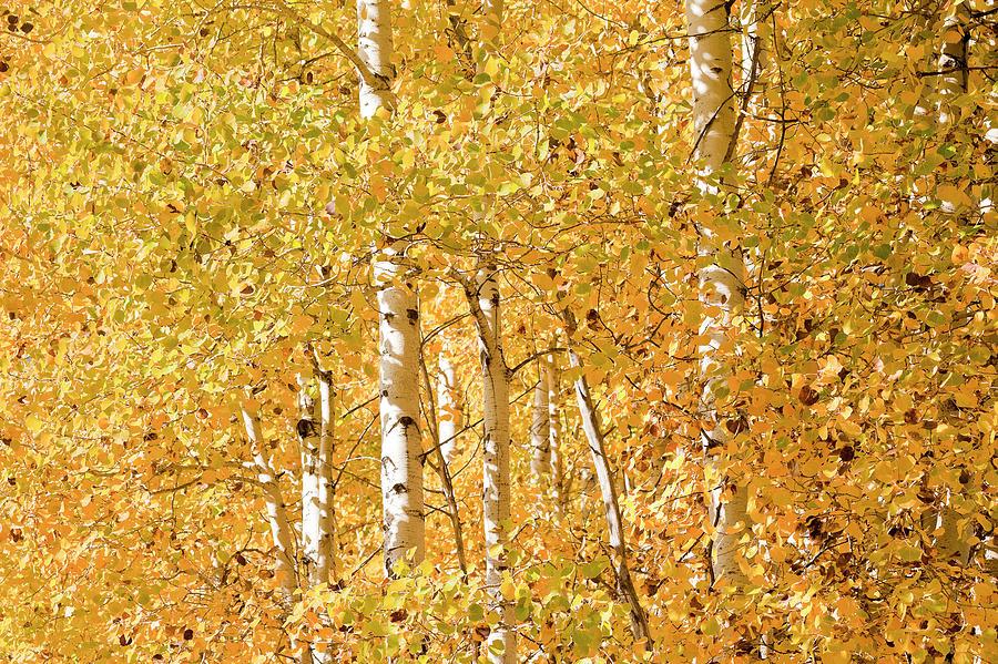Cascade Mountain Range Photograph - autumn aspen leaves Populus tremuloides by Ed Book