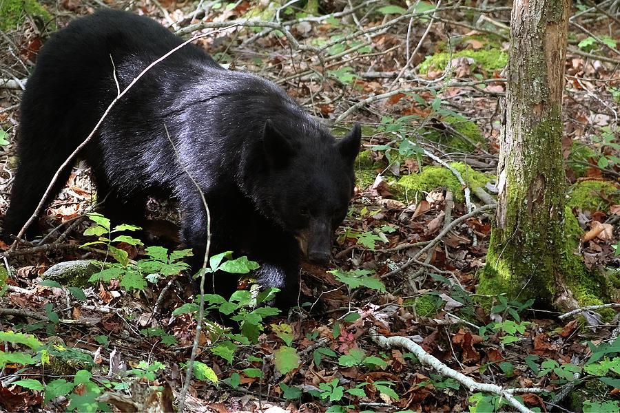 Autumn Black Bear Photograph