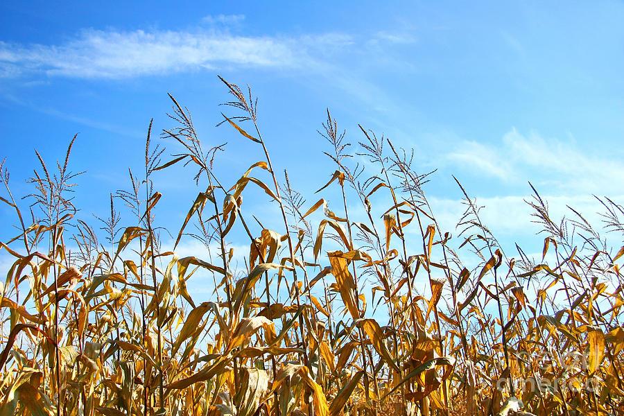 Agricultural Photograph - Autumn Corn by Sandra Cunningham