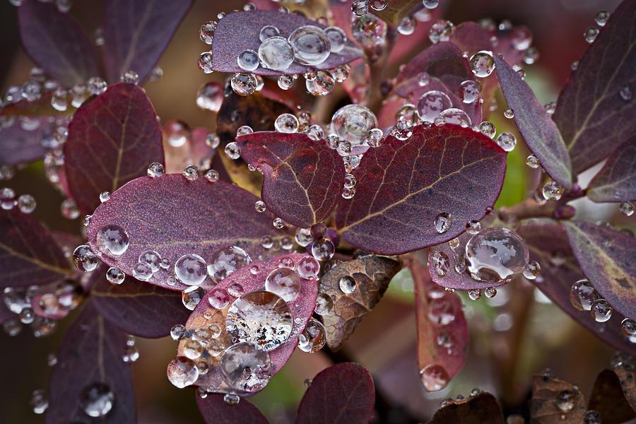 Cascade Huckleberry Photograph - autumn Huckleberry leaves macro in autumn by Ed Book