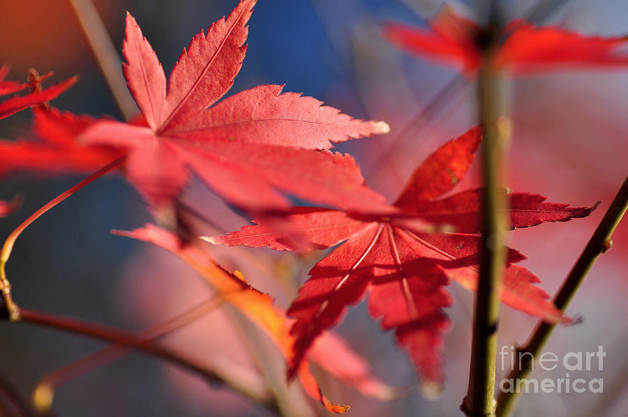 Photography Photograph - Autumn Maple by Kaye Menner
