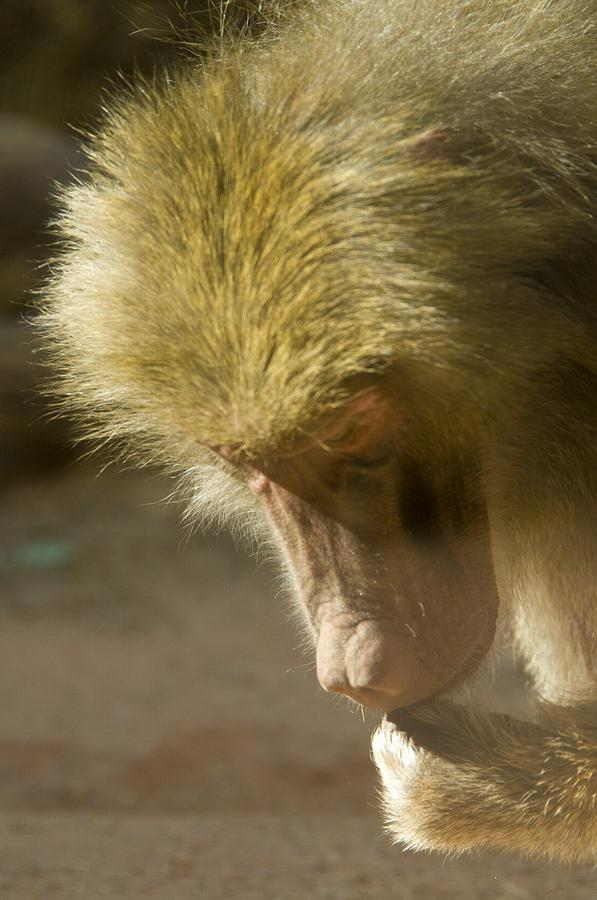 Baboon Photograph - Baboon Craps Shooter by Richard Henne