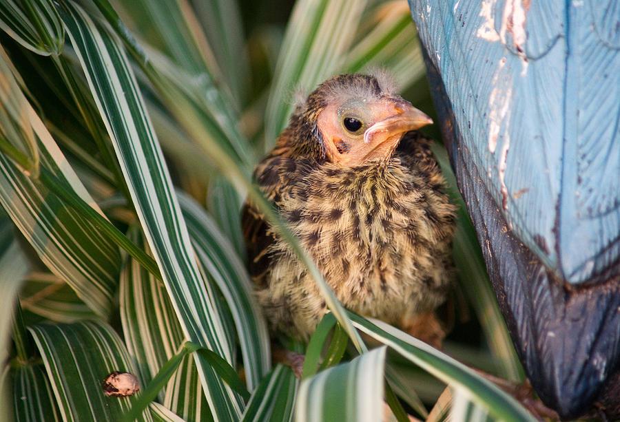 Baby Bird Hiding In Grass Photograph