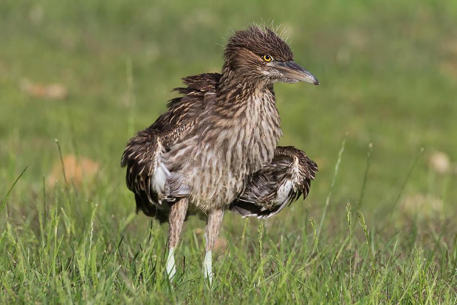Black crowned night heron baby - photo#10