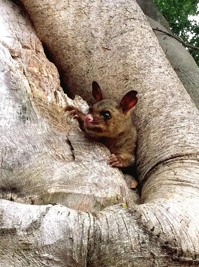 Brushtail Photograph - Baby Brushtail Possum by Darren Stein