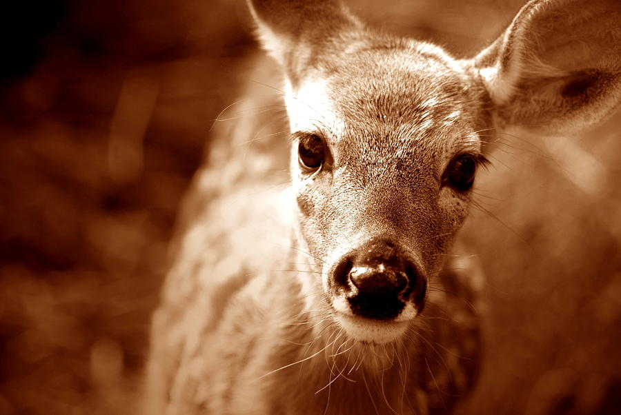 Whitetail Buck Photograph - Baby Cakes by Emily Stauring