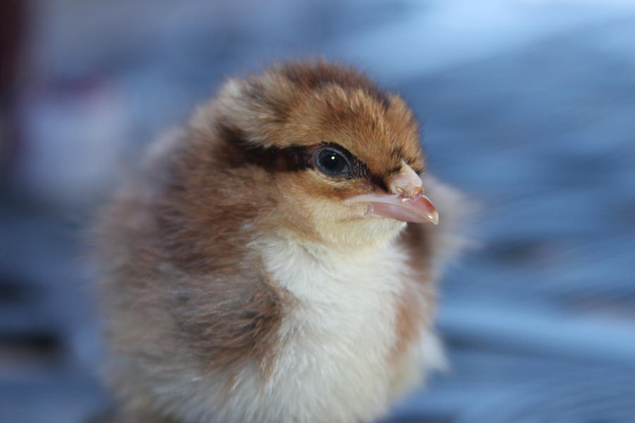 Baby Photograph - Baby Chicken by Angie Wingerd