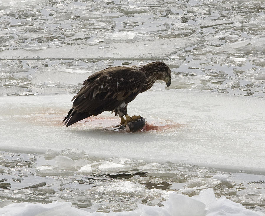 Baby Eagle Photograph