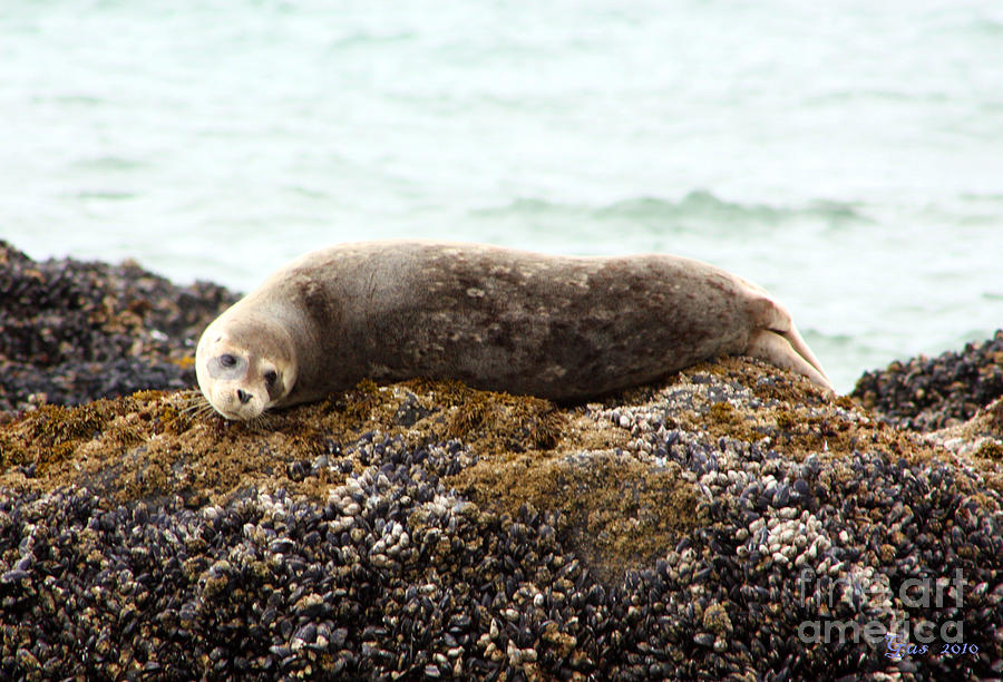 Baby Harbor Seal On A Rock Photograph by Nick Gustafson