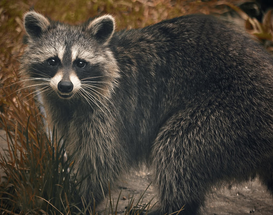 raccoon wildlife photograph backyard raccoon by bernadette