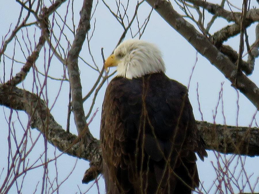 Bald Eagle                                                          Bald Eagle Photograph