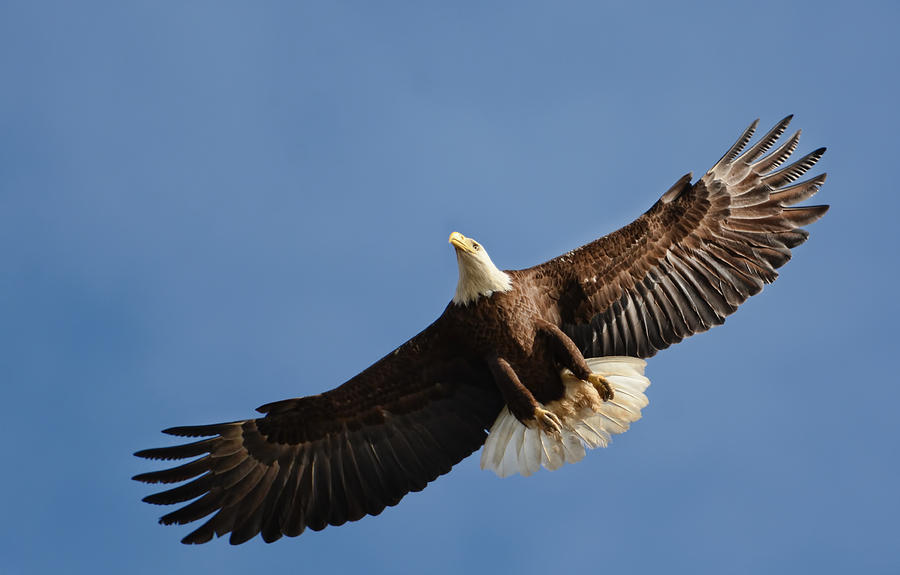 Bald Eagle In Flight 031520168883 Photograph