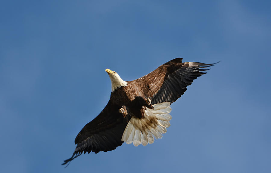 Bald Eagle In Flight 031520168884 Photograph
