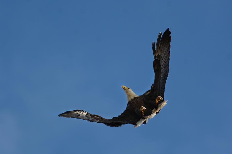 Bald Eagle In Flight 031520168885 Photograph