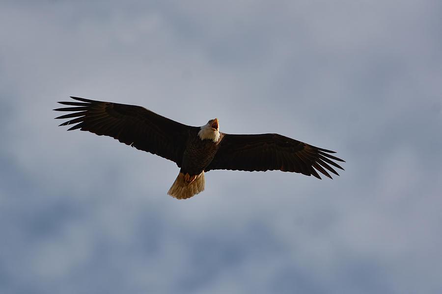 Bald Eagle In Flight 031520168900 Photograph