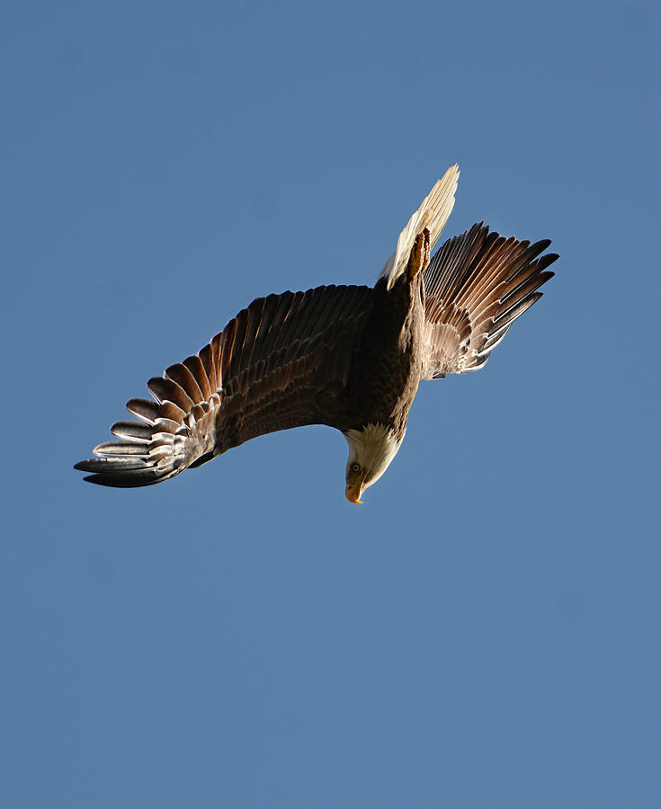 Bald Eagle In Flight 031520168936 Photograph