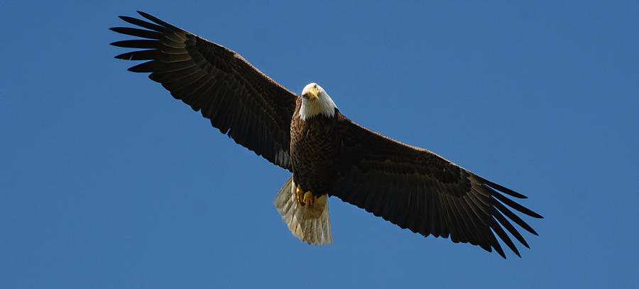 Bald Eagle In Flight 031520169038 Photograph