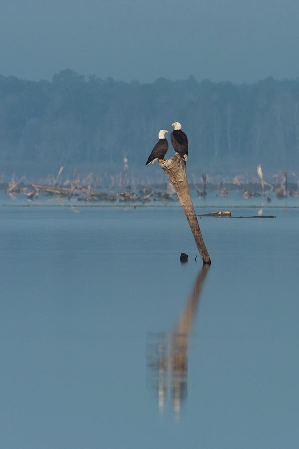 Bald Eagle Pair Photograph
